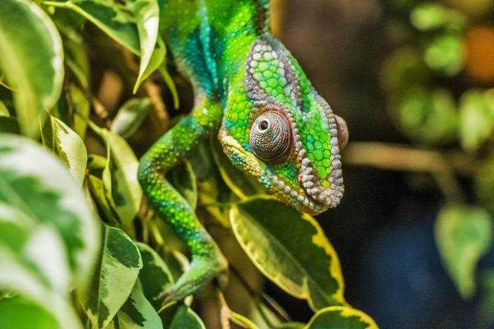 chameleon-384957_1920
